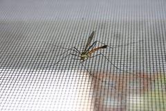 Mygga på myggnät foto arkivbild