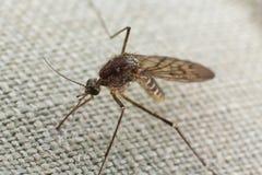 Mygga som försöker att bita till och med torkduken Royaltyfri Bild