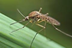 Mygga som vilar på gräs Arkivfoto