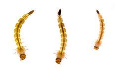Myggalarver över vit, makro Arkivbilder