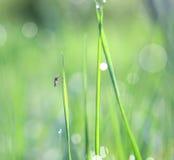 Myggan på gräsbladcloseupen Arkivfoton