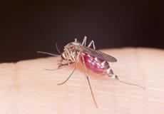Myggan suger blod Fotografering för Bildbyråer