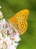 Myjący Fritillary 9, Argynnis paphia Zdjęcie Royalty Free