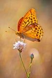 myjący fritillary kolor żółty Butterflie Obraz Royalty Free