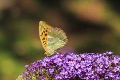 Myjący fritillary Argynnis paphia motyli karmienie dalej Zdjęcia Stock