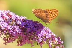 Myjący fritillary Argynnis paphia motyli karmienie dalej Obrazy Stock