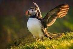 Mykines da aterrissagem do papagaio-do-mar Fotografia de Stock