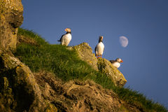 Mykines puffins Royalty Free Stock Photography