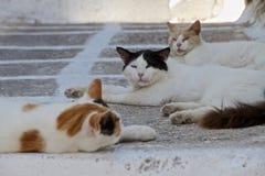 Mykonos katter i skugga Fotografering för Bildbyråer