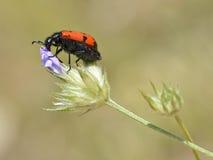 mylabris цветка жука Стоковая Фотография RF