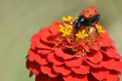 Mylabris beetle on flower Royalty Free Stock Image