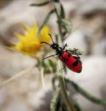 Mylabris-quadripunctata - Käfer mit vier Stellen lizenzfreie stockfotos