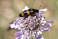 Mylabris variabilis, Blister beetle, Oil beetle Royalty Free Stock Images
