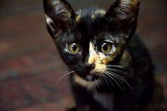 Kot figlarki zwierzęcia domowego Śliczny zwierzę Obraz Royalty Free