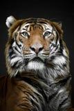 Τίγρη Mylayan - κλείστε επάνω την τίγρη προσώπου - ζωολογικός κήπος της Πράγας στοκ εικόνες