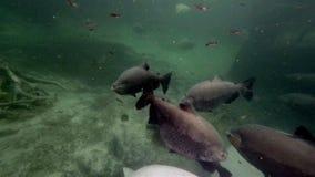 Myleus-pacu alias Schwarzpiranha oder schwarze pacu Schwimmen herum stock video footage