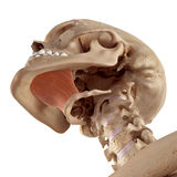 The mylohyoid Royalty Free Stock Image