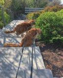 Myloves a aimé des animaux familiers de chats de mainecoon photo libre de droits