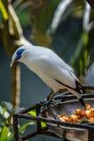 Myna Бали или starling Бали, остров Бали, Индонезия Стоковые Изображения