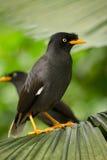 Myna. Black myna bird, Singapore, Asia Royalty Free Stock Images