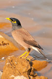 Myna. Looking great in wild Stock Image