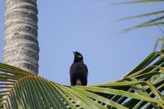 Myna allein auf Kokosnussbaumast Stockbild