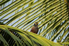 Myna alone on coconut tree branch Royalty Free Stock Image