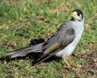 myna australien d'oiseau images stock