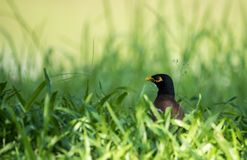 Myna Bird comune fotografie stock libere da diritti