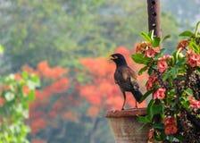 Myna Bird, die auf einem Blumen-Topf sitzt Lizenzfreies Stockfoto