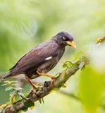 Myna bird Royalty Free Stock Photo