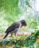 Myna bird Royalty Free Stock Images