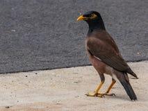 Myna Bird sauvage commune photo stock