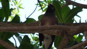 Myna Bird Sitting en árbol almacen de video