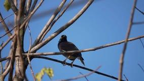 Myna Bird Sitting op Boom stock video