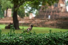 A myna bird standing on the green bush. Background of old buddhist temple stock images