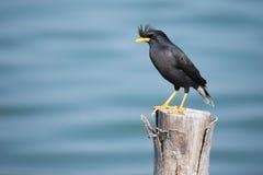 Myna bird Stock Images