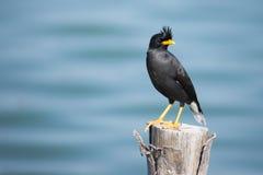 Myna bird Stock Photo