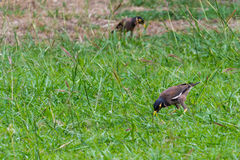Myna Birds. Myna searching for foods at evening Royalty Free Stock Photography