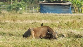 Myna birds waking up the sleeping buffalo. Myna birds are walking on the sleeping buffalo cause the buffalo waking up stock footage