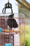Myna in the cage Stock Image