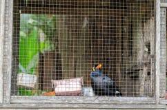 Myna in Cage. Look like prisoner Stock Photo