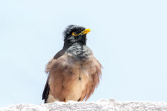 Myna. This myna in China is called domesticated myna Royalty Free Stock Photos