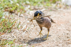 Myna. Is collecting dry grass to make its nest Royalty Free Stock Photo