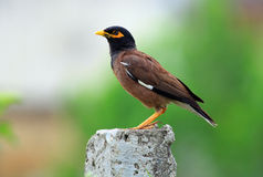 Myna commun Photos libres de droits