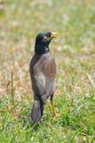 Myna comune, uccello esotico fotografia stock libera da diritti
