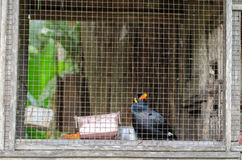 Myna dans la cage Photo stock