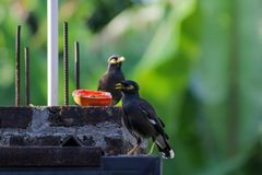 Myna eating papaya / Myna eating fruits Royalty Free Stock Images