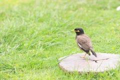 Myna fågel Royaltyfri Fotografi