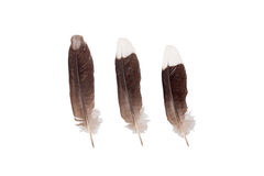 Myna feather Royalty Free Stock Images